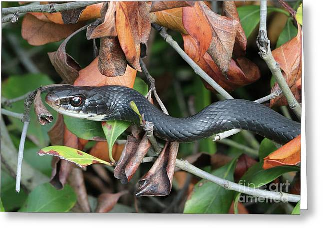 Black Racer Snake Stare Down Greeting Card by Carol Groenen
