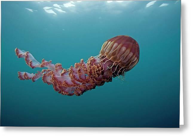 Black Sea Nettle Chrysaora Achlyos Greeting Card by Richard Herrmann