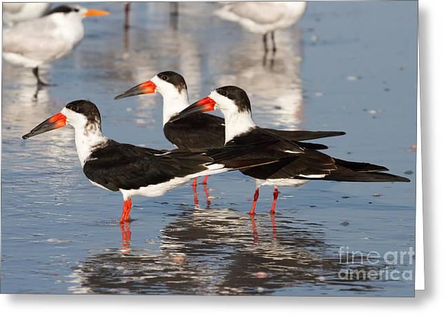 Black Skimmer Birds Greeting Card