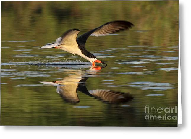 Black Skimmer Fishing Greeting Card