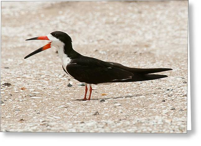 Black Skimmer On Assateague Island Greeting Card