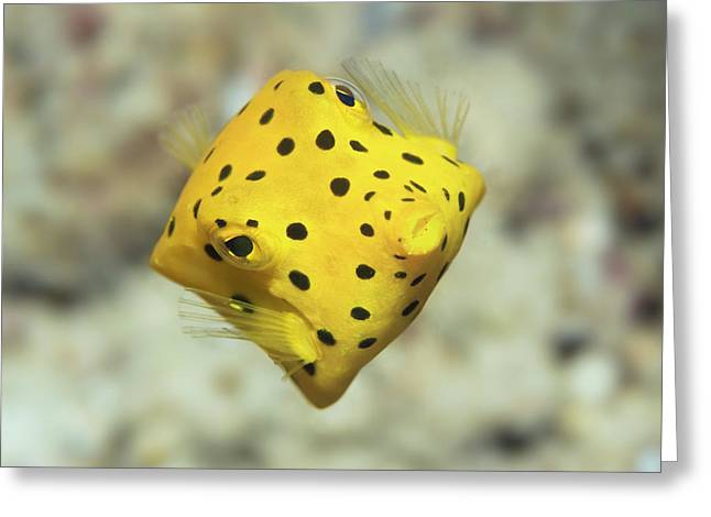 Black-spotted Boxfish Greeting Card