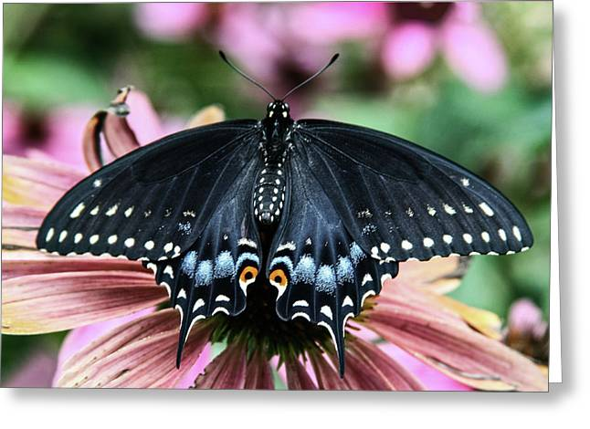 Black Swallowtail 3 Greeting Card