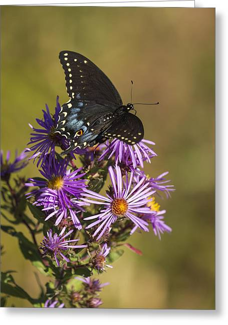 Black Swallowtail And Aster 2013-1  Greeting Card by Thomas Young