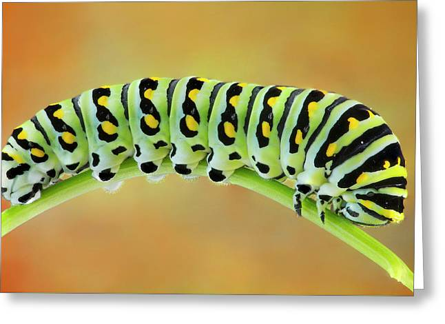 Black Swallowtail Butterfly Caterpillar II Greeting Card by Susan Candelario