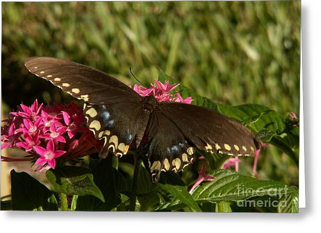 Black Swallowtail Butterfly On Pentas Greeting Card