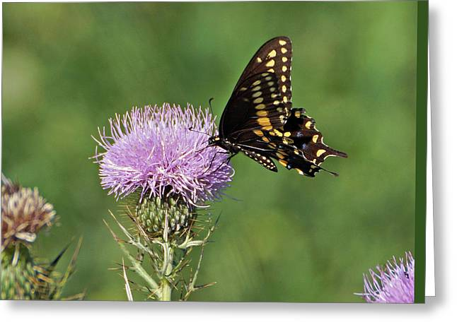 Spicebush Swallowtail Butterfly Greeting Card by Sandy Keeton