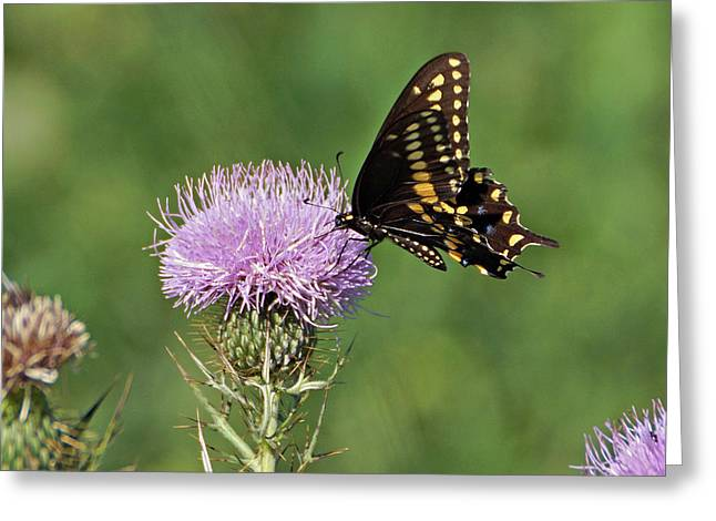 Greeting Card featuring the photograph Black Swallowtail Butterfly by Sandy Keeton
