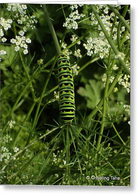 Greeting Card featuring the painting Black Swallowtail Butteryfly Caterpillar by Chholing Taha