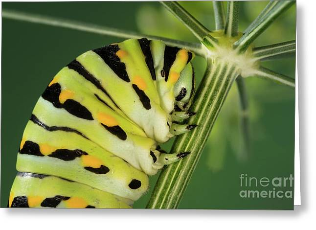 Black Swallowtail Caterpillar On Dill Greeting Card