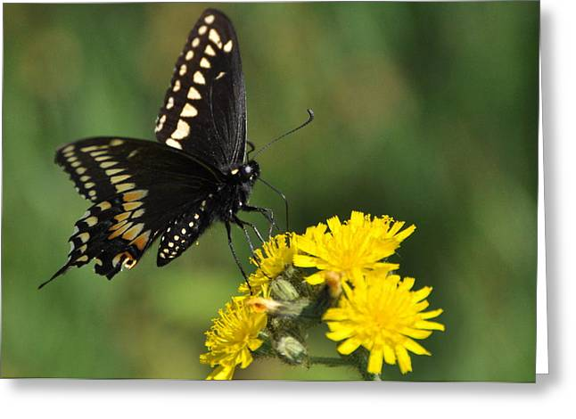 Black Swallowtail Greeting Card by Gerald Hiam