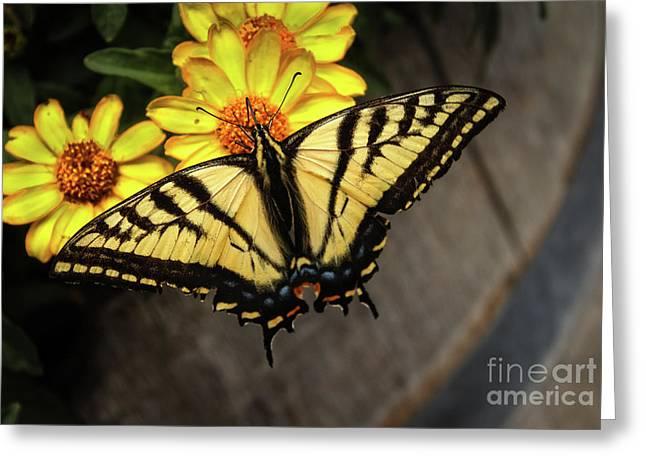 Black Swallowtail  Greeting Card by Robert Bales