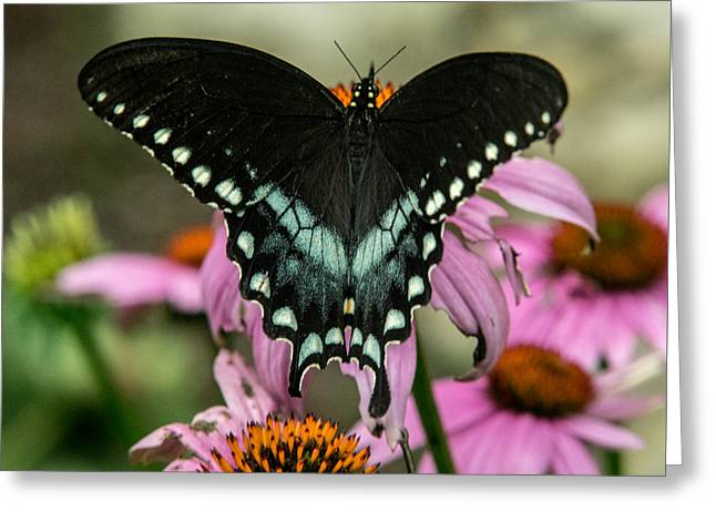 Black Swallowtail With Wings Wide Open Greeting Card