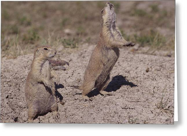 Black-tailed Prairie Dogs On The Prairie Greeting Card by Mark Wallner