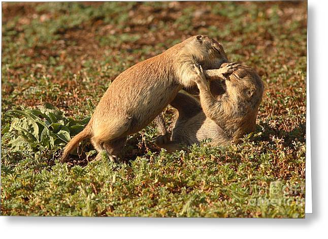 Black-tailed Prairie Dogs Wrestling Around Greeting Card by Max Allen