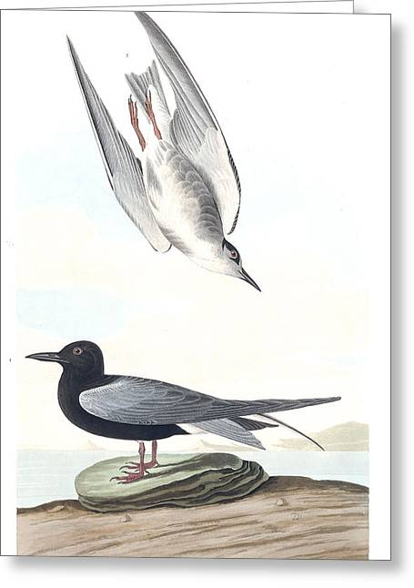 Black Tern Greeting Card by MotionAge Designs