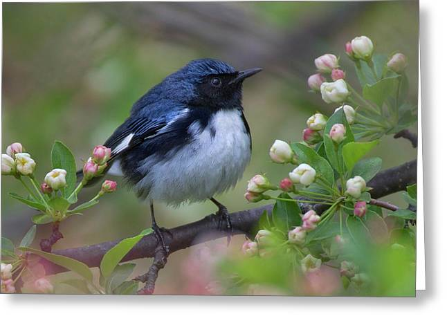 Black Throated Blue I Greeting Card