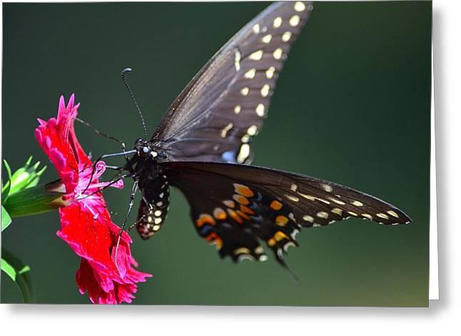 Black Tiger Swallowtail Greeting Card by Kathy Eickenberg