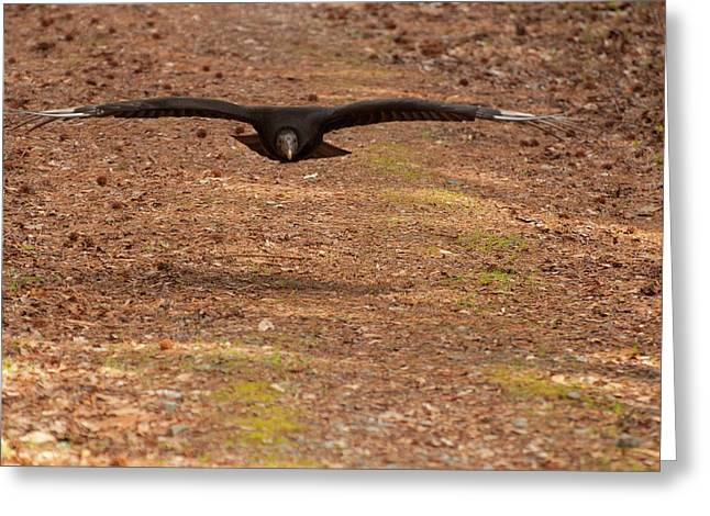 Black Vulture In Flight Greeting Card by Chris Flees