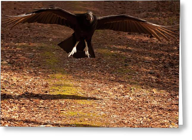 Black Vulture Landing Greeting Card by Chris Flees