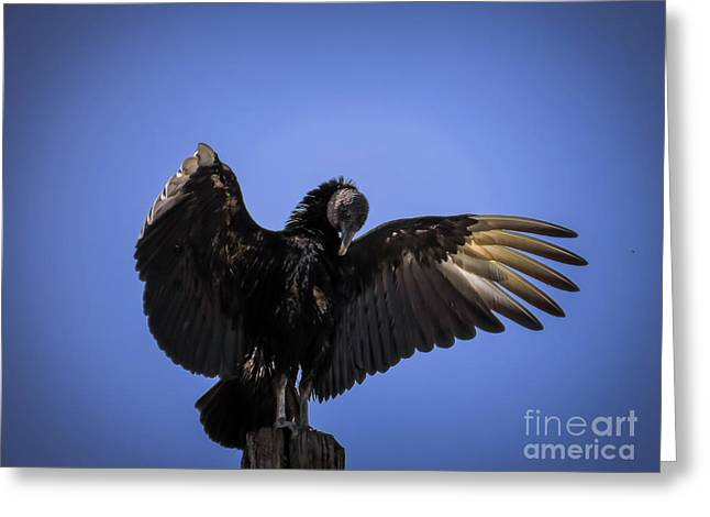 Black Vulture Greeting Card by Zina Stromberg