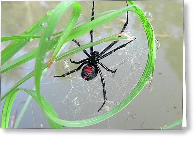 Black Widow Wheel Greeting Card by Al Powell Photography USA