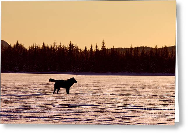 Black Wolf And Sunset Greeting Card by John Hyde - Printscapes