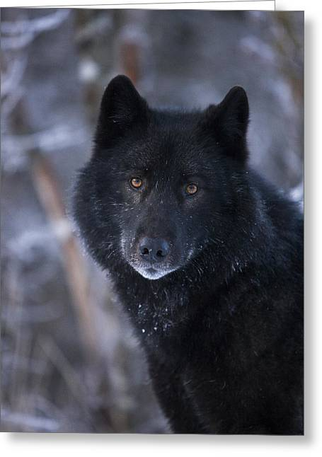 Black Wolf Portrait Greeting Card by John Hyde - Printscapes