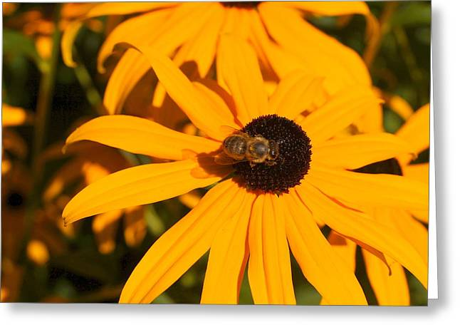 Blackeyed Beauty Greeting Card by Beth Collins