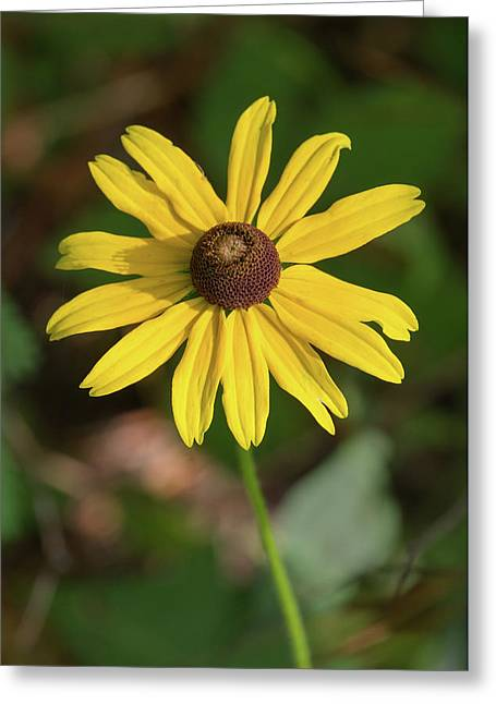 Blackeyed Susan Greeting Card