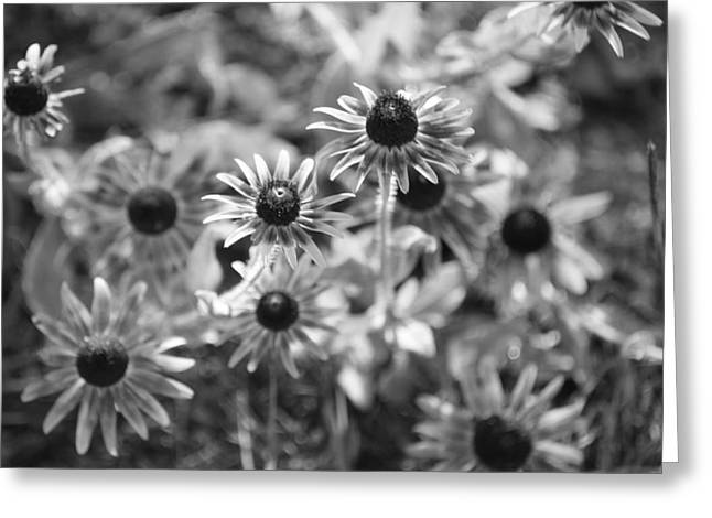 Blackeyed Susans In Black And White Greeting Card by Paula Coley
