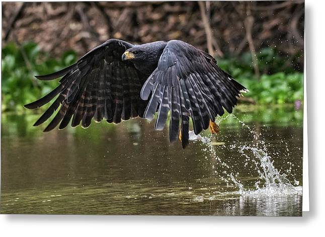Greeting Card featuring the photograph Blackhawk Fishing #1 by Wade Aiken