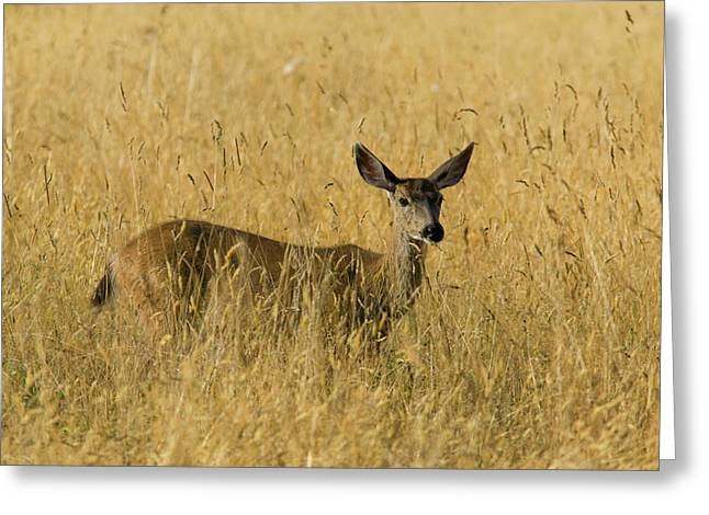 Blacktail Deer In Tall Grass Greeting Card by Randall Ingalls