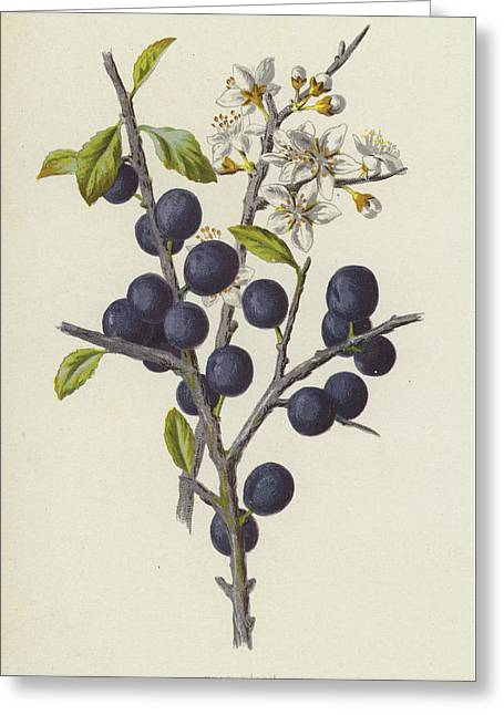 Blackthorn Greeting Card by Frederick Edward Hulme