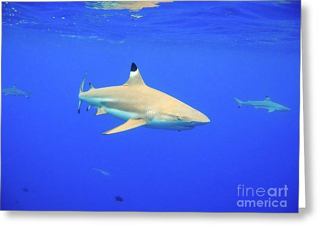 Blacktip Reef Shark Greeting Card