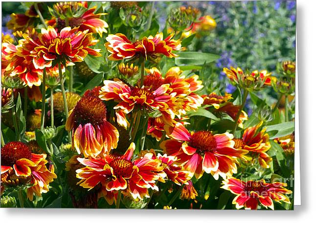 Blanket Flowers Greeting Card by Sharon Talson