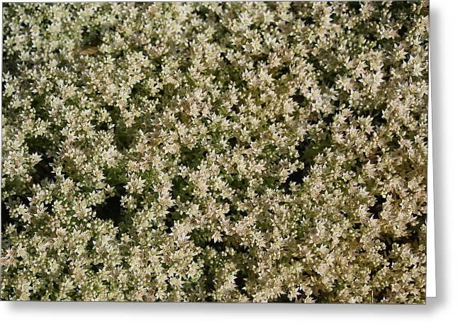 Blanket Of White Blooming Sedum  Greeting Card by Holly Eads