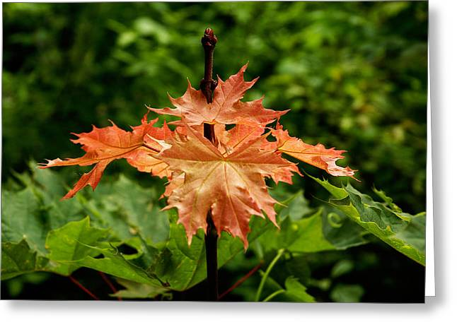 Greeting Card featuring the photograph Blazing Maple Leaves by Mike Evangelist