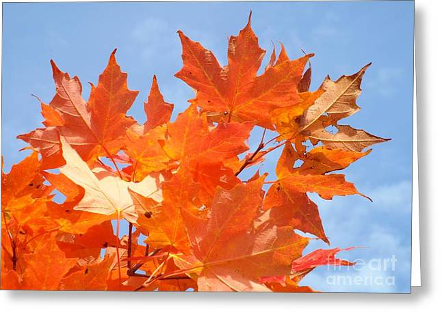 Blazing Maple Greeting Card