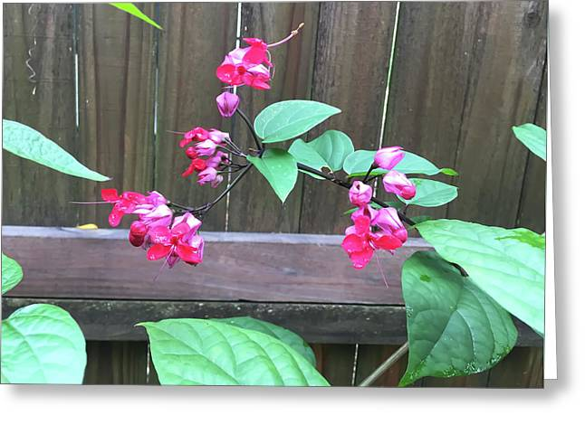 Bleeding Heart Clerodendrum Greeting Card by Aimee L Maher Photography and Art Visit ALMGallerydotcom