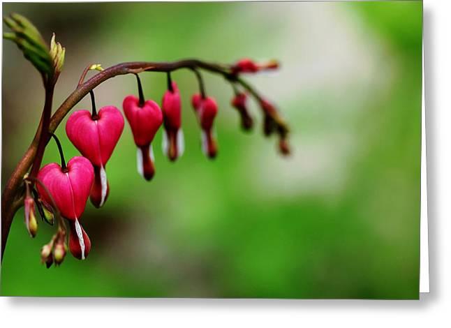 Bleeding Hearts Flower Of Romance Greeting Card by Debbie Oppermann