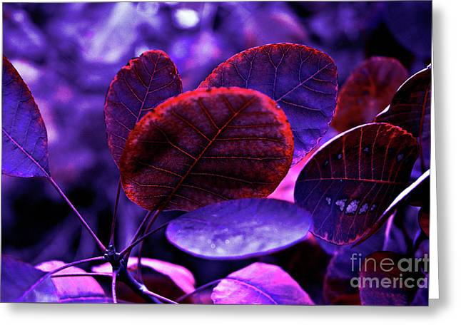 Greeting Card featuring the photograph Bleeding Violet Smoke Bush Leaves - Pantone Violet Ec by Silva Wischeropp