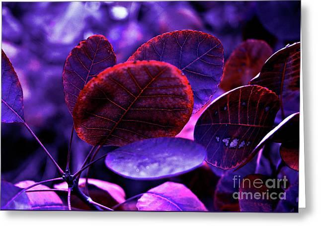 Bleeding Violet Smoke Bush Leaves - Pantone Violet Ec Greeting Card