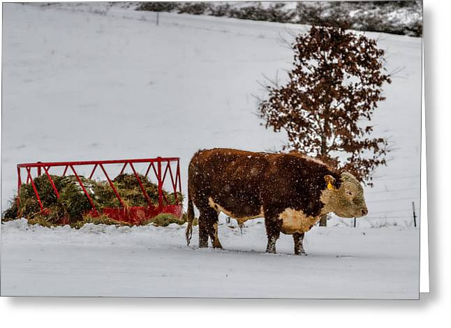 Blizzard Braving Bull Greeting Card by John Haldane