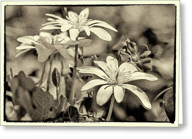 Bloodroot And Vinca Wildflowers - Sepia Greeting Card by Mother Nature