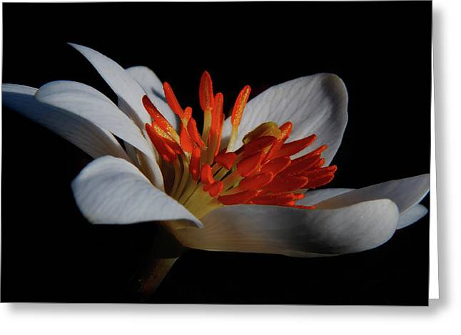 Bloodroot Art Greeting Card