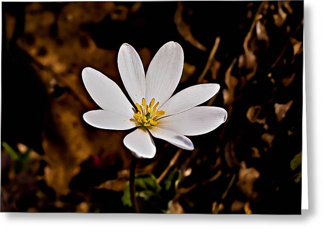 Bloodroot Bloom Greeting Card by Michael Whitaker