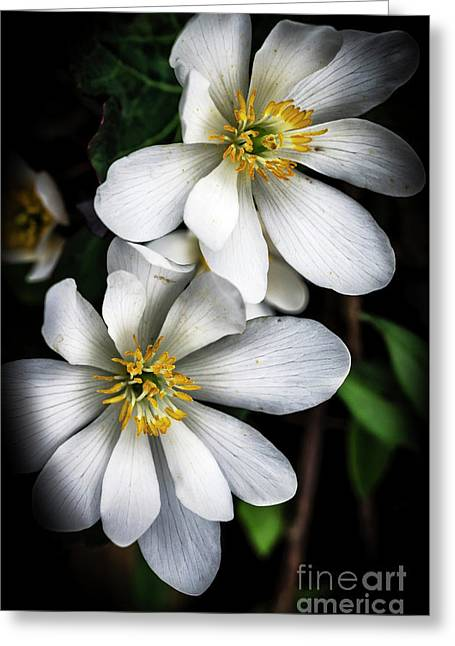 Greeting Card featuring the photograph Bloodroot In Bloom by Thomas R Fletcher