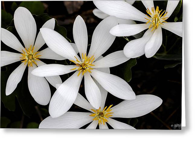 Sanguinaria Greeting Card