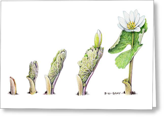 Bloodroot Unfolding II Greeting Card by Betsy Gray